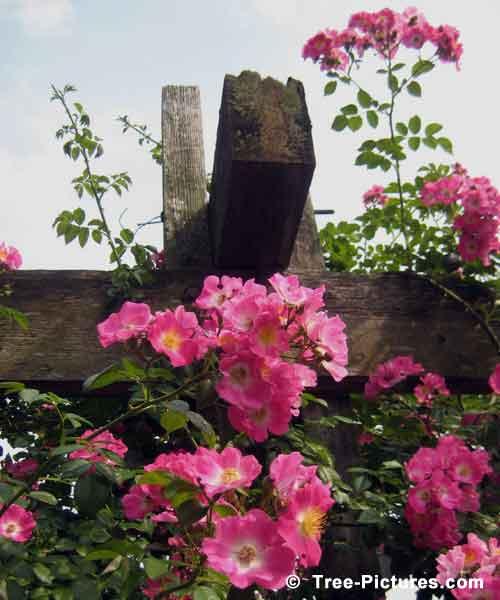 12 Impressive Rose Tree Pictures