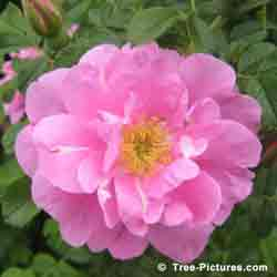 1 Rose Flower: Single Roses are Pretty in Pink