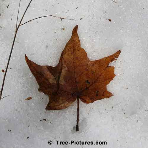Maple Leaf Image on Melting Spring Snow