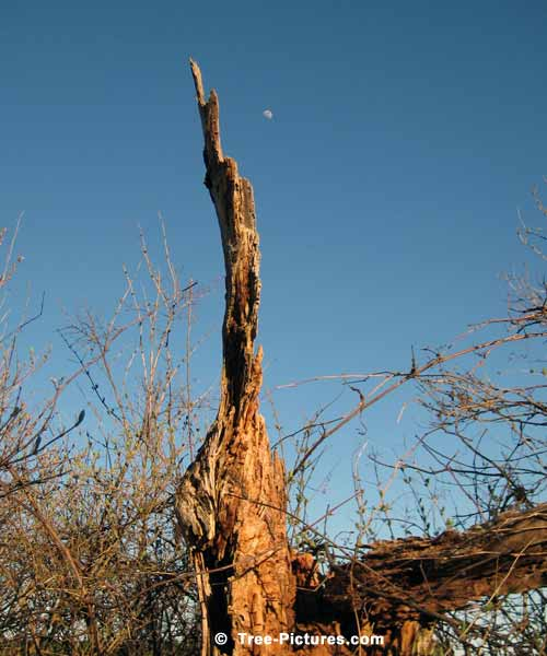 Spring Tree Pictures, Rotten Tree Trunk Image with High Spring Moon