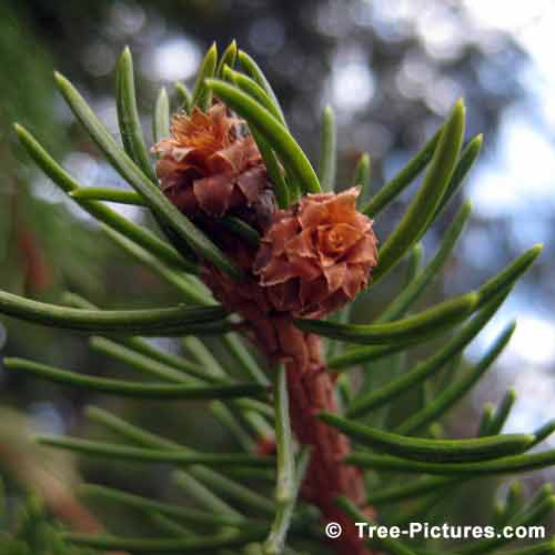 Spring  Tree Pictures, Impressive New Spring Spruce Tree Buds