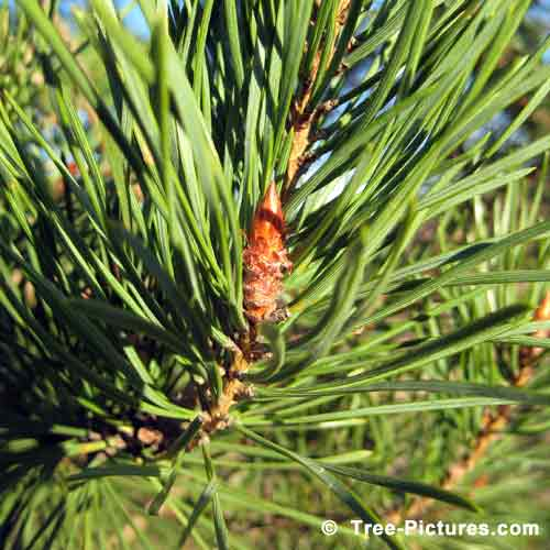 Tree Pictures, New Pine Tree Bud in Spring