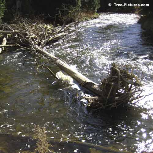 Spring Tree Pictures, Old Tree Lodged in a Spring Creek Photo