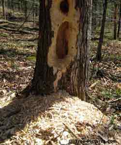 Forest Tree Services: Removal of Dead Trees