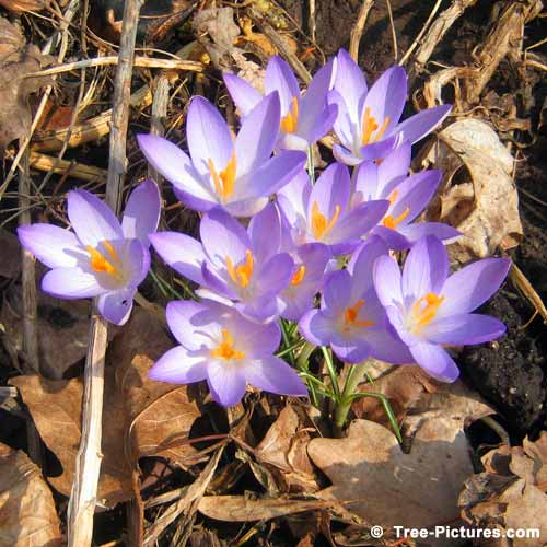 Spring Pictures, Pretty Crocus Flowers Amongst the Maple Tree Leaves