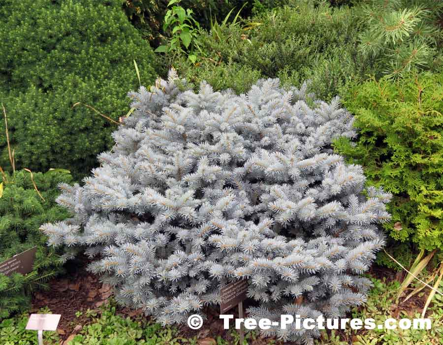 Blue Spruce: Small Colorado Spruce Tree Included in Landscape Design | Tree:Spruce:Colorado at Tree-Pictures.com