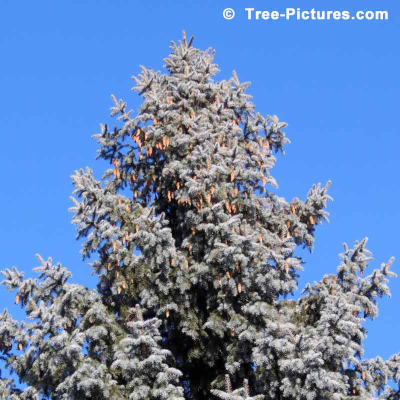 Blue Spruce Trees, Picture of a Colorado Blue Spruce Tree with Cones | Tree:Spruce:Colorado at Tree-Pictures.com