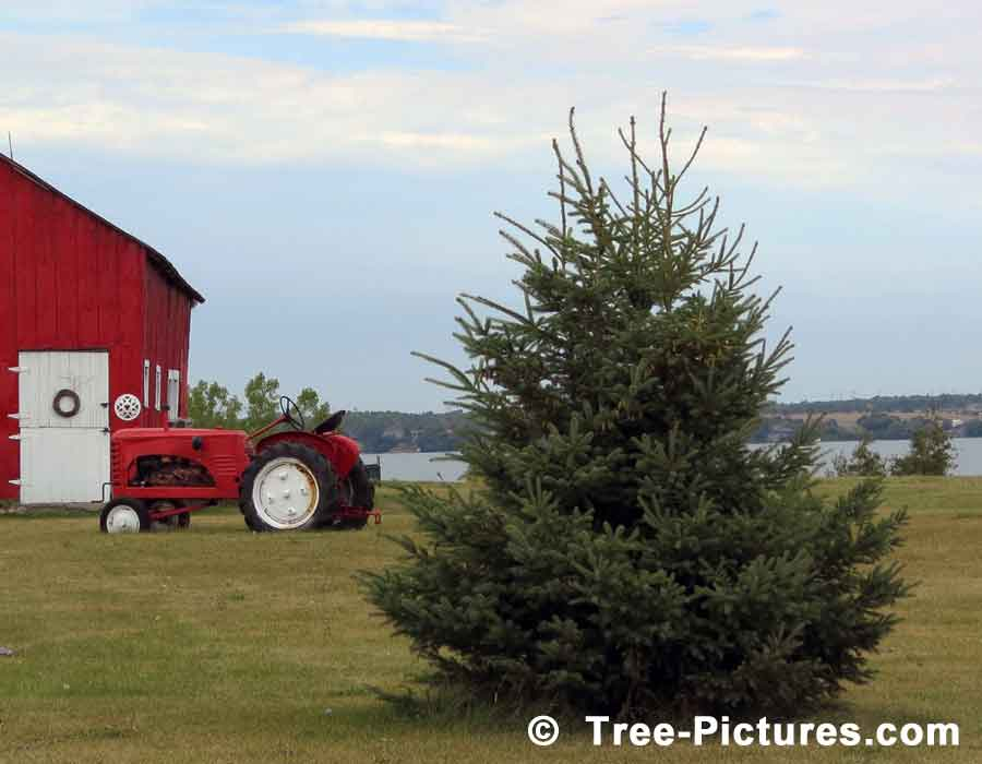 Spruce: White Spruce Tree Farm Photo | Tree:Spruce at Tree-Pictures.com