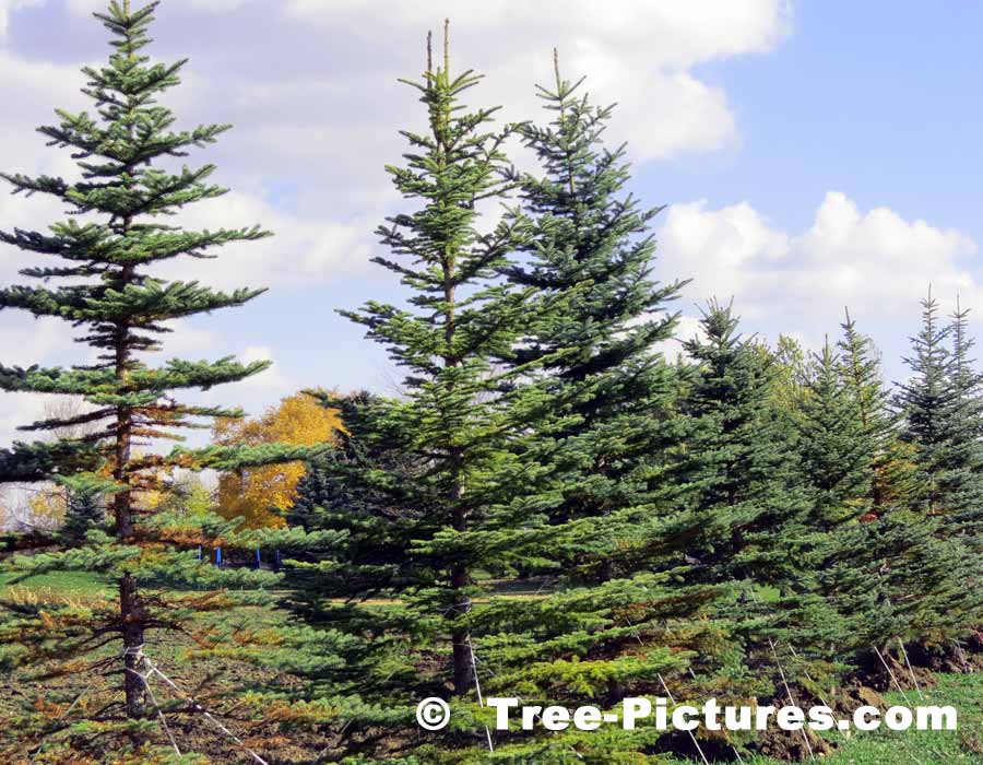 Spruce Tree: Pictures, Images, Photos of Spruces
