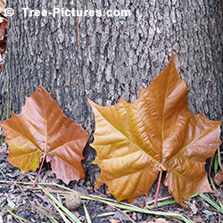 Sycamores Tree Pictures: American Sycamore Leaves