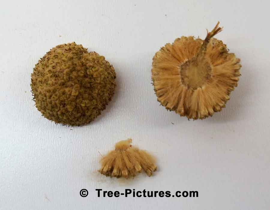Sycamore Trees Information: Opened Fall Sycamore Tree Fruit, Sycamore Seedlings Identification | Sycamore Trees at Tree-Pictures.com