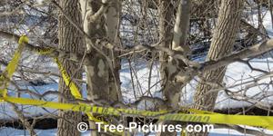 sycomore image de l'arbre