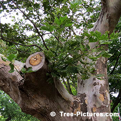 Sycamores Tree Pictures: Sycamore Required Tree Service