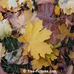 Sycamore Trees: Sycamore Leaf: Autumn Sycamore Tree Leaves