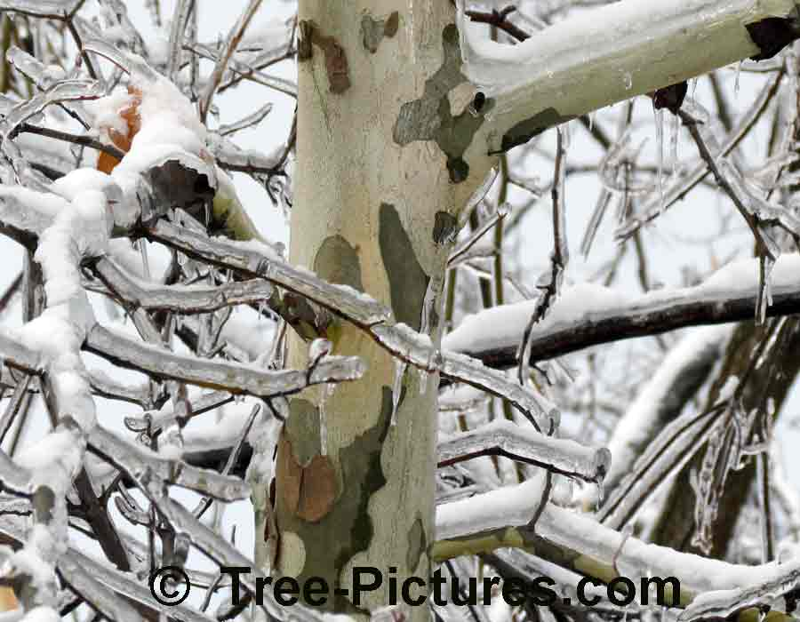 Sycamore Trees: Distinctive Bark of the Sycamore Tree | Sycamore Trees at Tree-Pictures.com