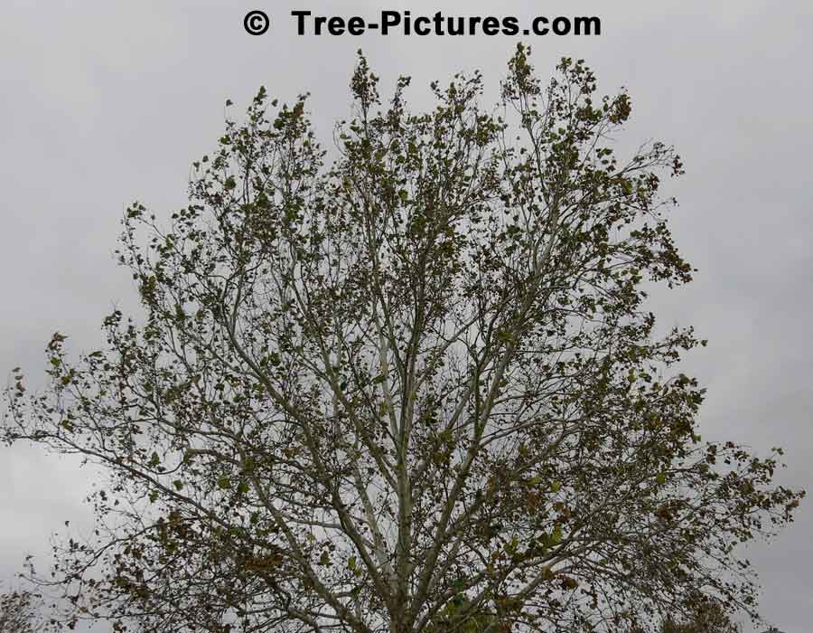 Sycamore Trees: Fall Sycamore Tree | Sycamore Trees at Tree-Pictures.com