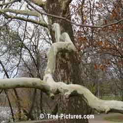 Sycamores: Branch Bark of the Sycamore Tree | Tree:Sycamore+Bark at Tree-Pictures.com