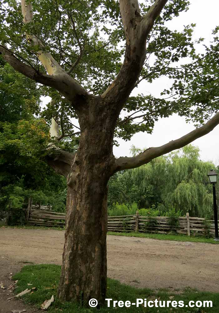 Sycamore Tree Photos Pictures Images Facts On Platanus Occidentalis