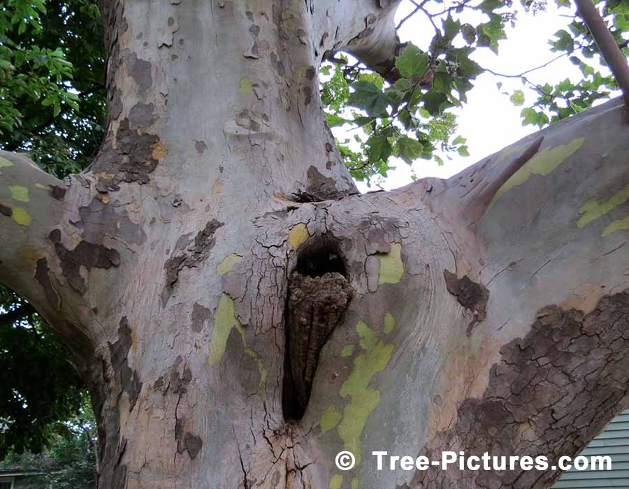 Sycamore Tree Photos Pictures Images Facts On Platanus