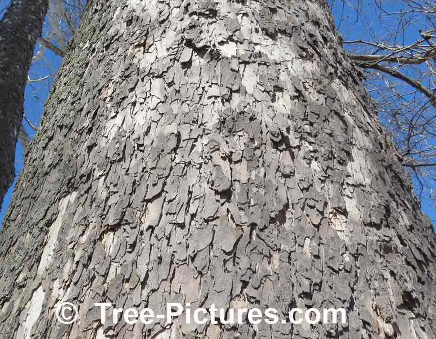 Sycamore Tree: Unique Bark of Mature Sycamore Tree | Sycamore Trees at Tree-Pictures.com