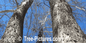 Sycamore Trees: Bark Picture