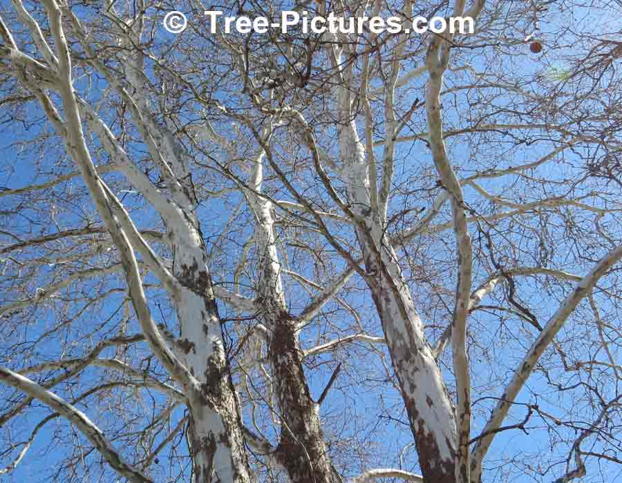 Sycamore Identification: Bark Shows White At Top of Tree | Sycamore Trees at Tree-Pictures.com