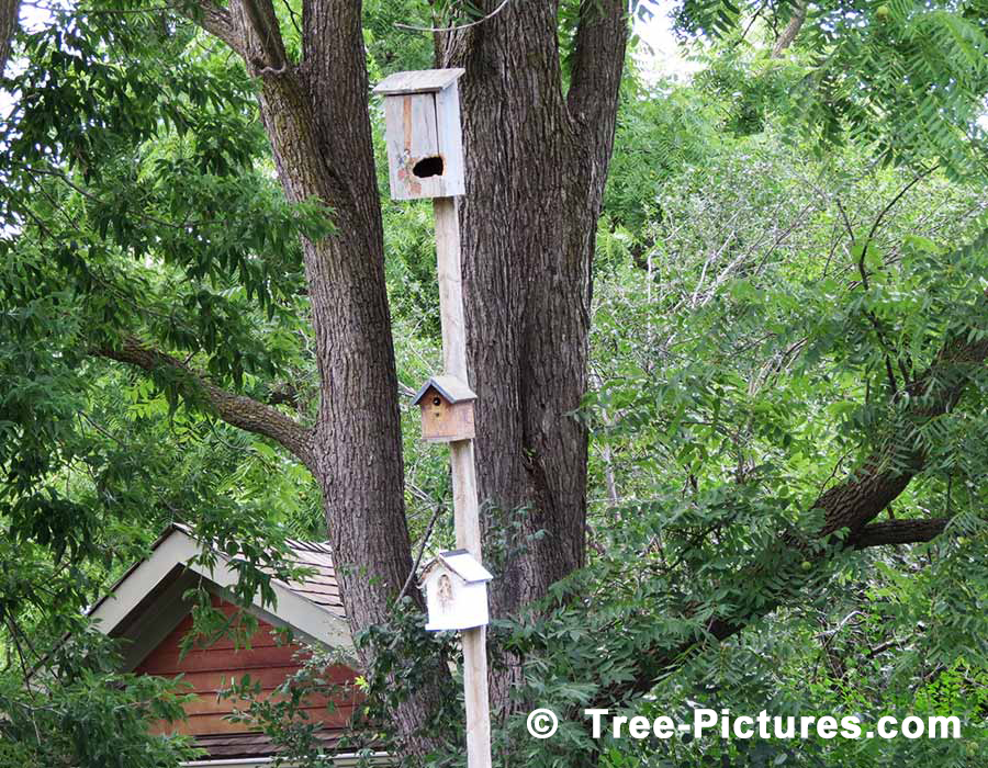 Walnut Tree: Pictures, Images, Facts on Black Walnut Trees