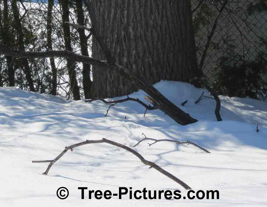 Walnut Bark: Black Walnut Tree Branches Bark | Trees:Walnut:Black:Bark at Tree-Pictures.com