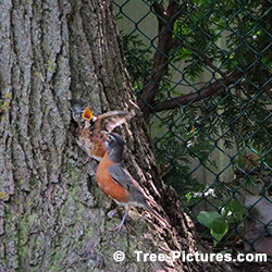 Pictures of Black Walnut Tree: Feeding Robins