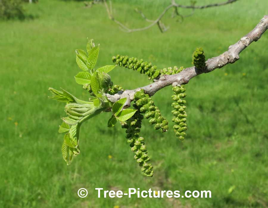 Walnut Tree: Leaf, Catkins, Bark, Leaves of Black Walnut Trees Photo | Trees:Walnut:Black at Tree-Pictures.com