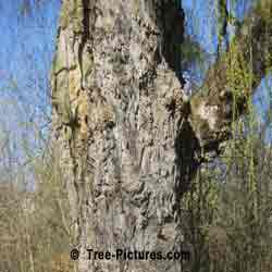 Pictures of Willow Trees: Willow Tree Bark
