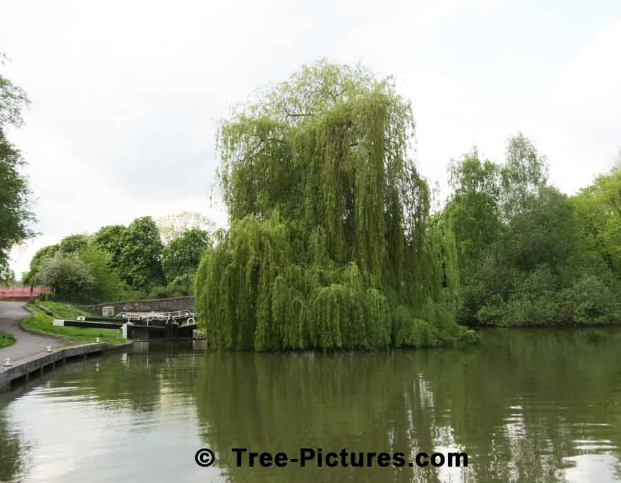 Willow Tree: Weeping Willow on the Avon Canal, Bath, England UK