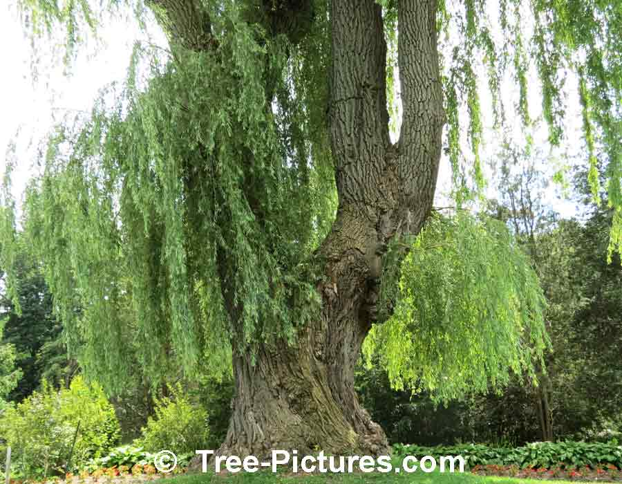 Willow Tree Pictures Images Photos Of Willows