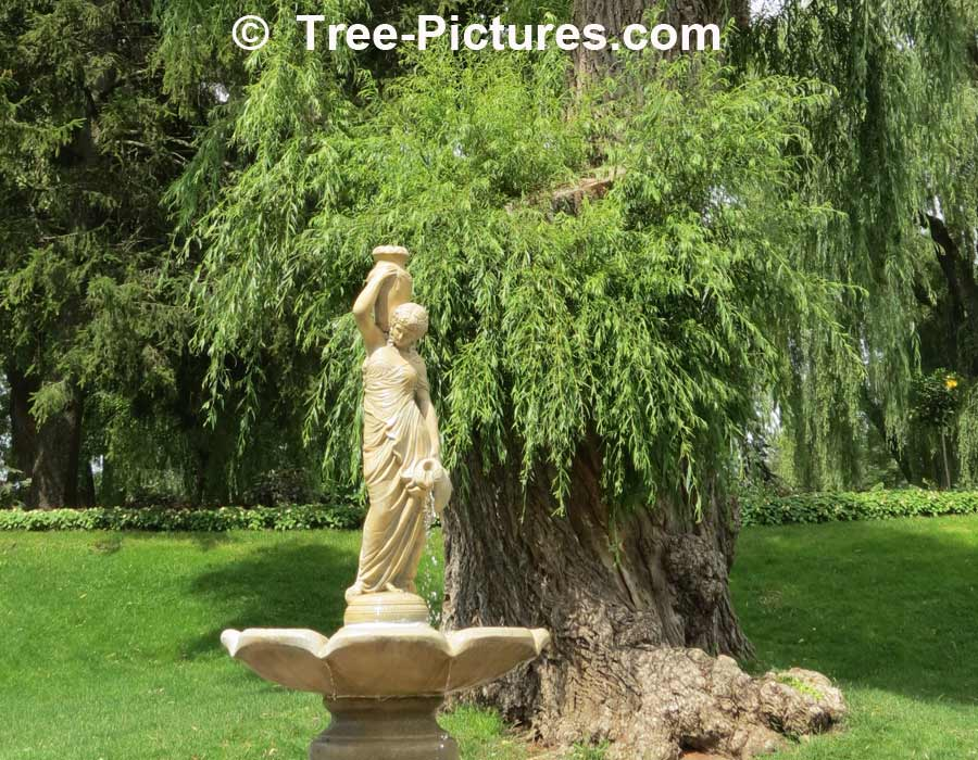 Willow Tree: Weeping Type, Backdrop To Majestic Water Fountain, we have many images of Willow Trees