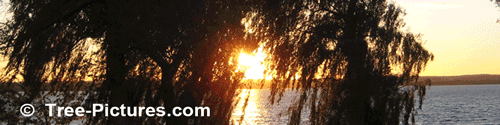 Weeping Willow: Willow Trees by the Lake Sunset Image