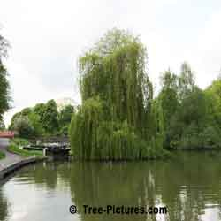 Willow Tree Pictures: Weeping Willow on the Avon Canal, Bath, England UK