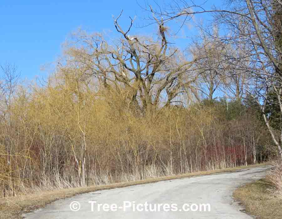Willow Trees: Thicket of Young Willows with Mature Willow in Background picture
