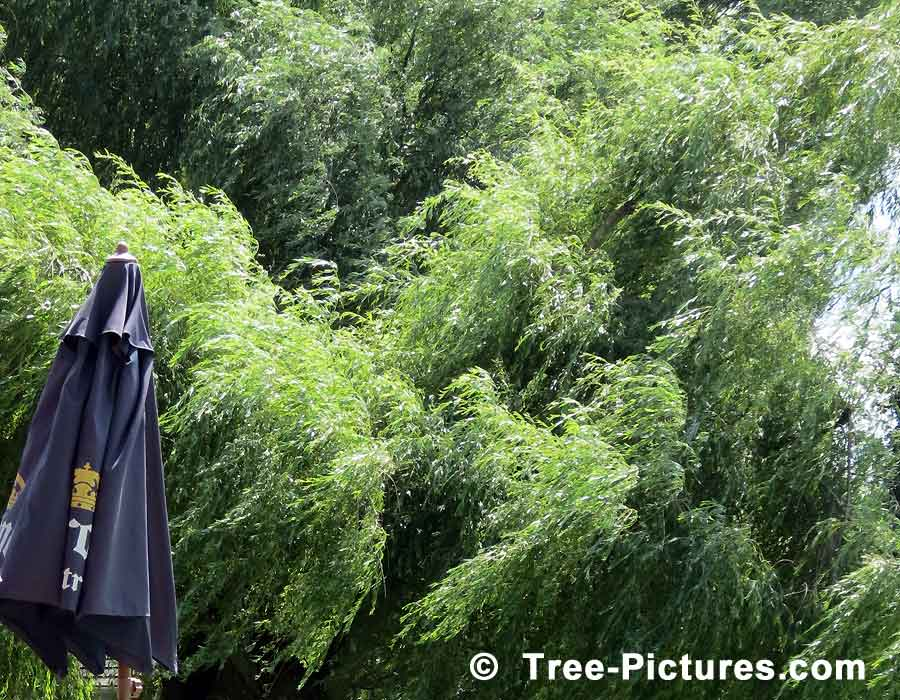 Willow Trees, Picture of Willow Tree, we have many images of Willow Trees