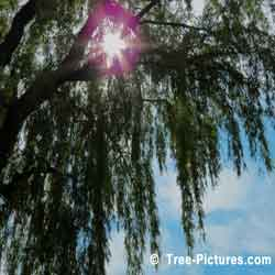 Willow Tree, Willow Trees Branches in Summer Sun