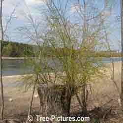 Willow Branches: Large Weeping Willow Trunk with New Willow Branch Shoots