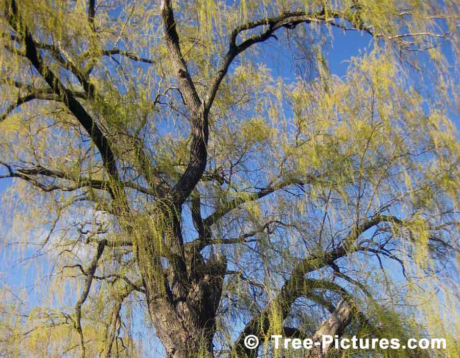 Willow Tree Branches & Leaves in Spring Season, we have many images of Willow Trees