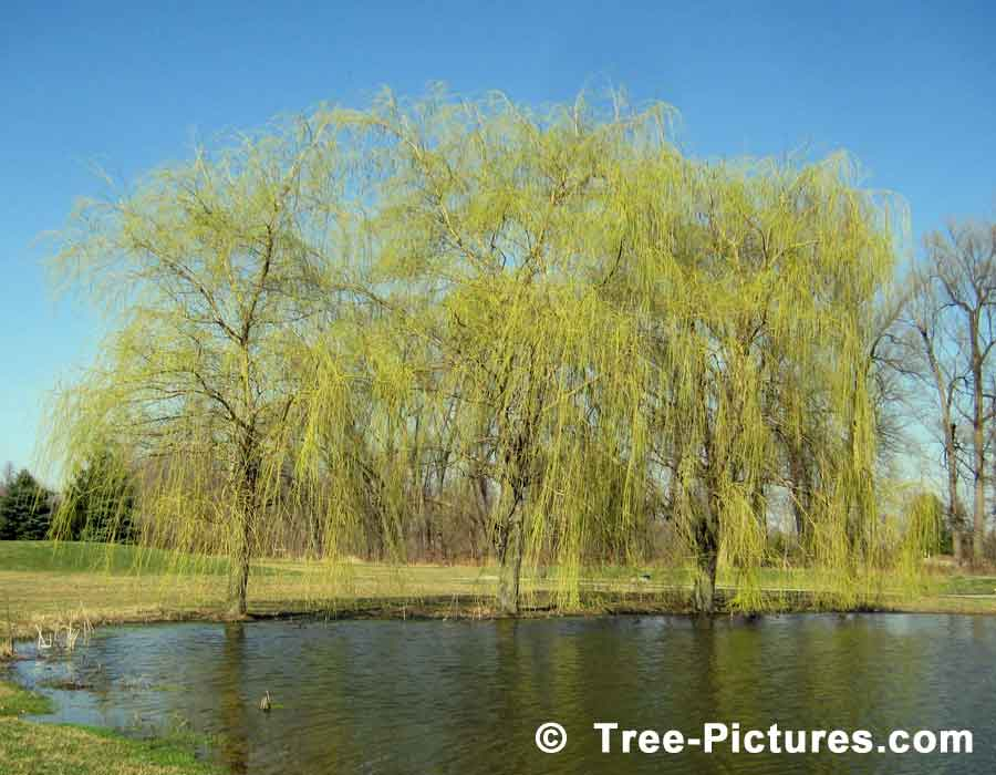 Willow Trees, weeping willow trees on the golf course in the Spring Season, we have many images of Willow Trees