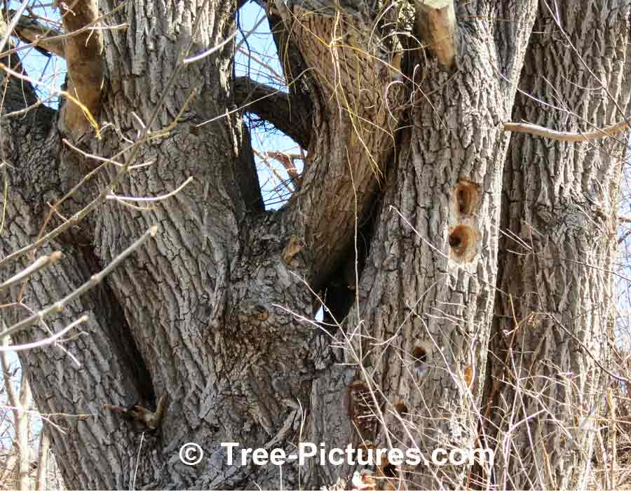 Willow Tree Photo Illustrating Rough Wood Texture of Bark on Mature Willow Tree