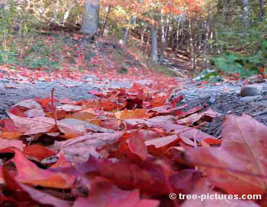 Maple Leaf: Fall Red Maple Tree Forest Leaves | Maple Trees at Tree-Pictures.com
