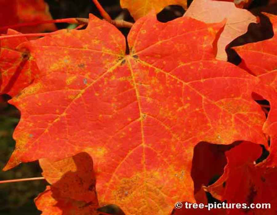 Striking Fall Color of Maple Leaf | Maple Trees at Tree-Pictures.com