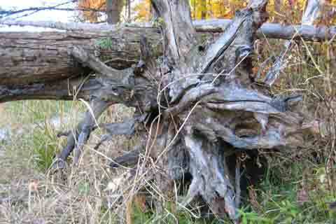 Gnarly Tree Root