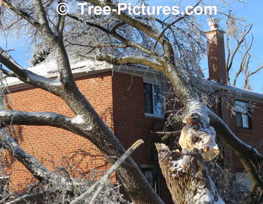 Tree Service: Big Trees Damaged In Ice Storm Need Tree Cutting, Trimming, Stump Service Removal | Tree Service at Tree-Pictures.com