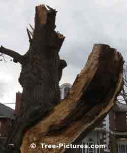 Tree Services: Old Trees like oak and maple trees can rot from inside the bark