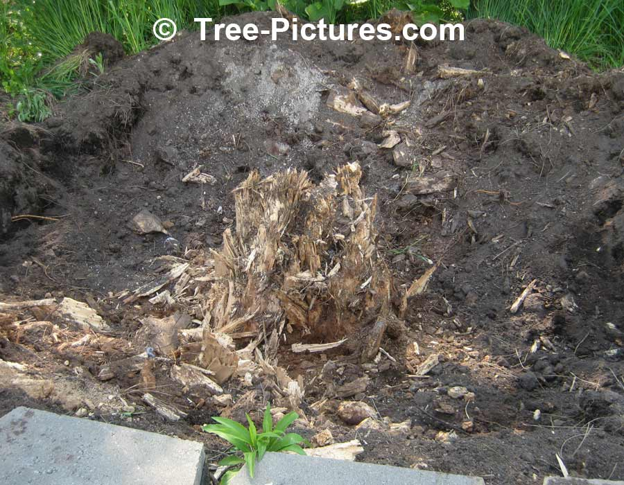 Tree Service: Tree Stump Removal, Removing Tree Stumps | Tree Service at Tree-Pictures.com