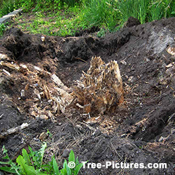 Tree Stump Removal: Digging out Method of Removing a Trees Stump